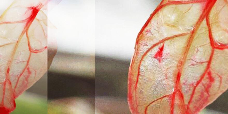 Spinach Heart Tissue
